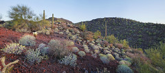 Sonoran Desert Biota (BongoInc) Tags: sonorandesert organpipecactusnationalmonument arizona