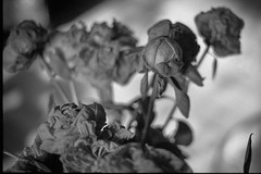 peonies, bouquet, backlit, living room, Asheville, NC, Minolta XG-M, Super Albinon 28mm f/2.8, Derev Pan 400, HC-110 developer, 12.14.19 (steve aimone) Tags: peonies bouquet backlit asheville northcarolina minoltaxgm superalbinon28mmf28 derevpan400 hc110developer primelens 35mm 35mmfilm film analog blackandwhite monochrome monochromatic flowers floralforms