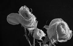 Three Flowers (harper.carl) Tags: blackandwhite flowers lowkey