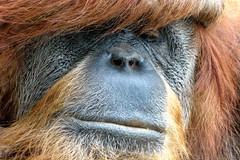 Orang-Utan (Chridage) Tags: orangutan menschenaffe affe pongo hominidae ponginae luminar luminar4 monkey ape