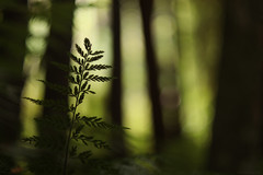close to the earth (2) (birdcloud1) Tags: fern forest woods green bokeh blur depthoffield lightandshadow growth canoneos80d eos80d revuenon55mm14 vintagelens legacylens thesecretlifeofplants foreststories amandakeogh amandakeoghphotography birdcloud1 simplethings imperfect natural humble grounded fromtheearth closetotheearth noplanetb