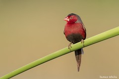 Crimson finch (Jims Wildlife) Tags: crimsonfinch bird australia finch neochmiaphaeton