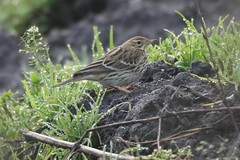 Red-throated Pipit! - Martindale flats, Victoria BC