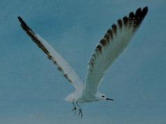 Sea Gull (Dreaming of the Sea) Tags: 2019 macromondays tamronsp90mmf2811macro nikond7200 oilpainting blue bluesky birds seagull bribieisland handmade