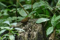 MPP_7233 (Marco N. Pochi) Tags: pygmy cupwing wren babbler nikon nikkor nature n500pf 500pf d850 bird wildlife
