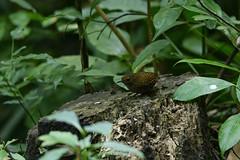 MPP_7222 (Marco N. Pochi) Tags: pygmy cupwing wren babbler nikon nikkor nature n500pf 500pf d850 bird wildlife