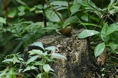 MPP_7221 (Marco N. Pochi) Tags: pygmy cupwing wren babbler nikon nikkor nature n500pf 500pf d850 bird wildlife