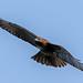 Red-tailed Hawk in flight over Montecito, California