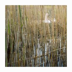Brooding - Kodak Porta 400 (magnus.joensson) Tags: sweden swedish skåne trelleborg swan rolleiflex carl zeiss tessar 75mm kodak porta 400 c41 6x6 may spring