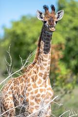 Baby giraffe (Mark Nicholas Heah) Tags: natgeowild natgeo nationalgeographic wild wildlife animal animals kruger nationalpark nationalreserve natural nature herbivore natgeoyourshot tall giraffe baby cute southafrica