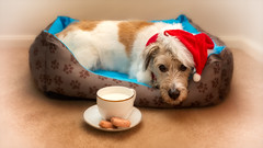 T'was the night before Christmas.... (RissaJT_23) Tags: mac santa santapaws santaclaus fatherchristmas stnicholas christmas milkandcookies dog canine pet petphotography petportraits canon5dmarkiv canon2470mm