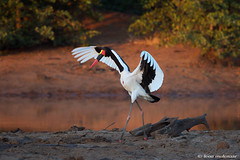 Ready to take off (leendert3) Tags: leonmolenaar southafrica krugernationalpark wildlife wilderness wildanimal nature naturereserve naturalhabitat bird saddlebilledstork coth5