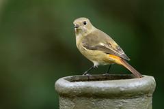 MPP_7156 (Marco N. Pochi) Tags: daurian redstart bird nikon nikkor nature n500pf 500pf d850 wildlife