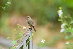 MPP_7113 (Marco N. Pochi) Tags: daurian redstart bird nikon nikkor nature n500pf 500pf d850 wildlife