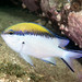 Chromis nitida - Yellow-back puller