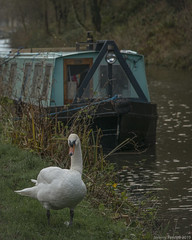 Along the Kennet & Avon Canal (Explored 16/12/2019) (zolaczakl) Tags: december kennetavoncanal wiltshire nikond800 nikonafsnikkor24120mmf4gedvrlens england canals uk boats avoncliff 2019 canalboat swan photographybyjeremyfennell jeremyfennellphotography