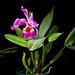 [Venezuela] Cattleya jenmanii Rolfe, Bull. Misc. Inform. Kew 1906: 85 (1906)
