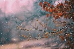 (Alin_B.) Tags: alinbrotea nature autumn fall toamna winter iarna snow ice cold frozen november december tree branch leaves rusty snowfall
