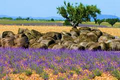 P1140713 (alainazer) Tags: valensole provence france fiori fleurs flowers fields champs ciel cielo sky colori colors couleurs lavande lavanda lavender arbre albero tree