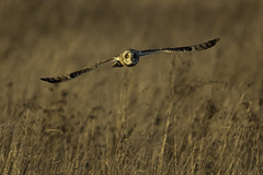 Seeing eye to eye (Chris Bainbridge1) Tags: asioflammeus short eared owl in flight golden hour fen eye contact