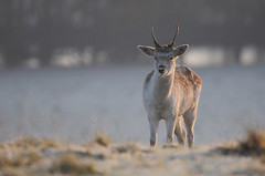 Magic Jim (andy_AHG) Tags: wildlife winter stag fallowdeerbuck antlers animals nikond300s yorkshire