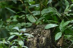 MPP_7228 (Marco N. Pochi) Tags: pygmy cupwing wren babbler nikon nikkor nature n500pf 500pf d850 bird wildlife
