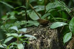 MPP_7225 (Marco N. Pochi) Tags: pygmy cupwing wren babbler nikon nikkor nature n500pf 500pf d850 bird wildlife