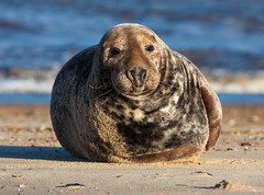 Winterton beach (CdL Creative) Tags: cdlcreative eastanglia england nr29 norfolk unitedkingdom winterton beach coast geo:lat=527194 geo:lon=16960 geotagged seals greatyarmouth