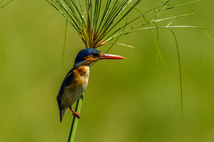 A little jewel... (lyn.f) Tags: malachite kingfisher corythorniscristatus birds birdsofbotswana choberiver botswana botswanamagic africa safari water waterislife nature naturelover nikon pangolinphotosafaris