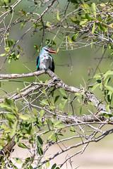 Woodland Kingfisher (Mark Nicholas Heah) Tags: natgeowild natgeo nationalgeographic wild wildlife animal animals kruger nationalpark nationalreserve natural nature herbivore natgeoyourshot kingfisher southafrica woodland