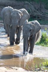 Elephant crossing (Mark Nicholas Heah) Tags: natgeowild natgeo nationalgeographic wild wildlife animal animals kruger nationalpark nationalreserve natural nature herbivore natgeoyourshot southafrica elephant cute baby mother crossing river big