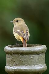 MPP_7153 (Marco N. Pochi) Tags: daurian redstart bird nikon nikkor nature n500pf 500pf d850 wildlife