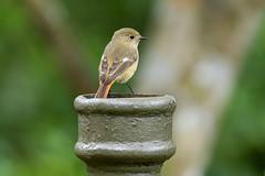 MPP_7143 (Marco N. Pochi) Tags: daurian redstart bird nikon nikkor nature n500pf 500pf d850 wildlife