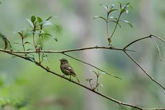 MPP_7252 (Marco N. Pochi) Tags: daurian redstart bird nikon nikkor nature n500pf 500pf wildlife d850