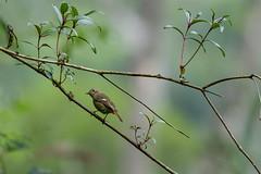 MPP_7250 (Marco N. Pochi) Tags: daurian redstart bird nikon nikkor nature n500pf 500pf wildlife d850