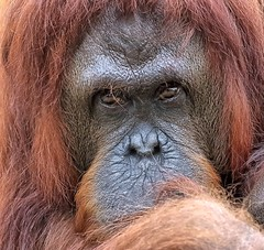 Orangutan Up Close (Darts5) Tags: orangutan orangutans primate primates animal mammal nature ape apes 7d2 7dmarkll 7dmarkii 7d2canon ef100400mmlll closeup canon7d2 canon7dmarkii canon7dmarkll canon canonef100400mmlii upclose