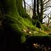 the mossy stump - Hembury Fort, Honiton, Devon - Dec 2019