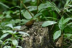 MPP_7232 (Marco N. Pochi) Tags: pygmy cupwing wren babbler nikon nikkor nature n500pf 500pf d850 bird wildlife