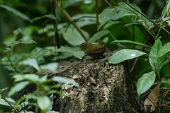MPP_7227 (Marco N. Pochi) Tags: pygmy cupwing wren babbler nikon nikkor nature n500pf 500pf d850 bird wildlife