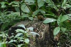 MPP_7211 (Marco N. Pochi) Tags: pygmy cupwing wren babbler nikon nikkor nature n500pf 500pf d850 bird wildlife