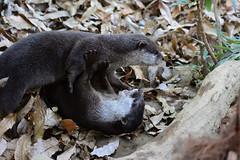 Otters (SolitaryFiatist7221) Tags: nikon d7200 nikkor afp 70300mm zoo otter