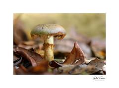 Bearded (g.femenias) Tags: mushroom fungi leaves macro macrophotography nature naturallight woods bokeh selva caimari mallorca