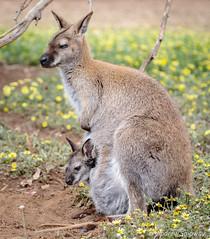 Kangaroo Island Wildlife Park, Parndana. (andrew52010) Tags: wildlifepark kangarooisland wallabyjoey wildlife kangarooislandwildlifepark parndanawildlifepark holiday wallaby joey parndana southaustralia marsupial australia bennetwallaby redneckedwallaby