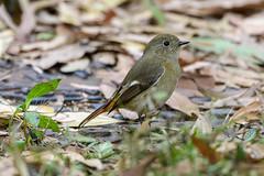MPP_7126 (Marco N. Pochi) Tags: daurian redstart bird nikon nikkor nature n500pf 500pf d850 wildlife