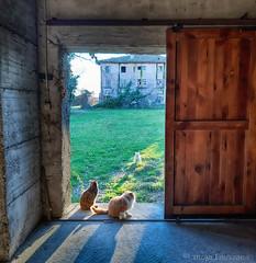 20191214_151632 cats (pinktigger) Tags: cfats cat feline pet cute door gate house farm abandoned backlight gatto gatti katze kat chat gato animal