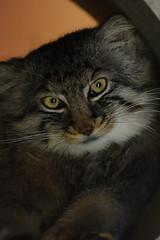 Manul cat (SolitaryFiatist7221) Tags: nikon d7200 nikkor afp 70300mm zoo manulcat