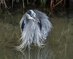 Wet Feathers. (Omygodtom) Tags: art abstract wildlife bird blueheron wet nikkor nikon70300mmvrlens d7100 usgs flickriver yuppy texture tannersprings oregon outside reflection