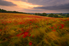 Poppies in the wind (Pete Rowbottom, Wigan, UK) Tags: poppy poppyfield uk longexposure light sunset landscape movement windy worcestershire goldenhour bewdley landscapephotography fotopro peterowbottom nisifilters flowers trees summer england sky art nature beauty grass clouds britain wheat meadow hills blackstone