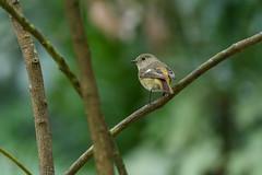 MPP_7245 (Marco N. Pochi) Tags: daurian redstart bird nikon nikkor nature n500pf 500pf wildlife d850