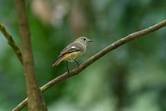 MPP_7239 (Marco N. Pochi) Tags: daurian redstart bird nikon nikkor nature n500pf 500pf wildlife d850